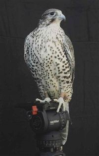 shumla (a female gyr/prarie falcon handled by ashlee minknuk)[photo by fredrik nilsen for diana thater] by diana thater